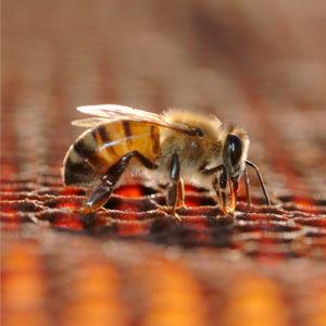 control de plagas -abejas - avispones