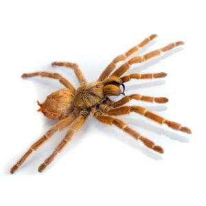 control de plagas -araña