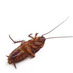 control de plagas - cucarachas